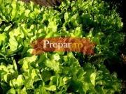 Salata verde dulce